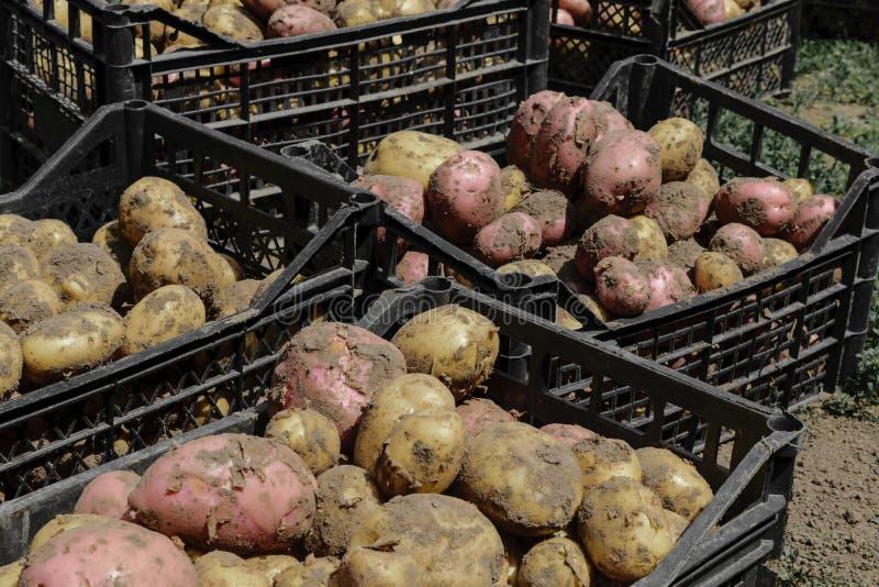 Φρέσκες κόκκινες και καφετιές πατάτες στα μαύρα πλαστικά κιβώτια στοκ φωτογραφία με δικαίωμα ελεύθερης χρήσης