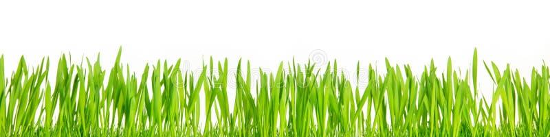 Φρέσκες πράσινες λεπίδες χλόης μπροστά από το άσπρο υπόβαθρο, πανόραμα στοκ εικόνα