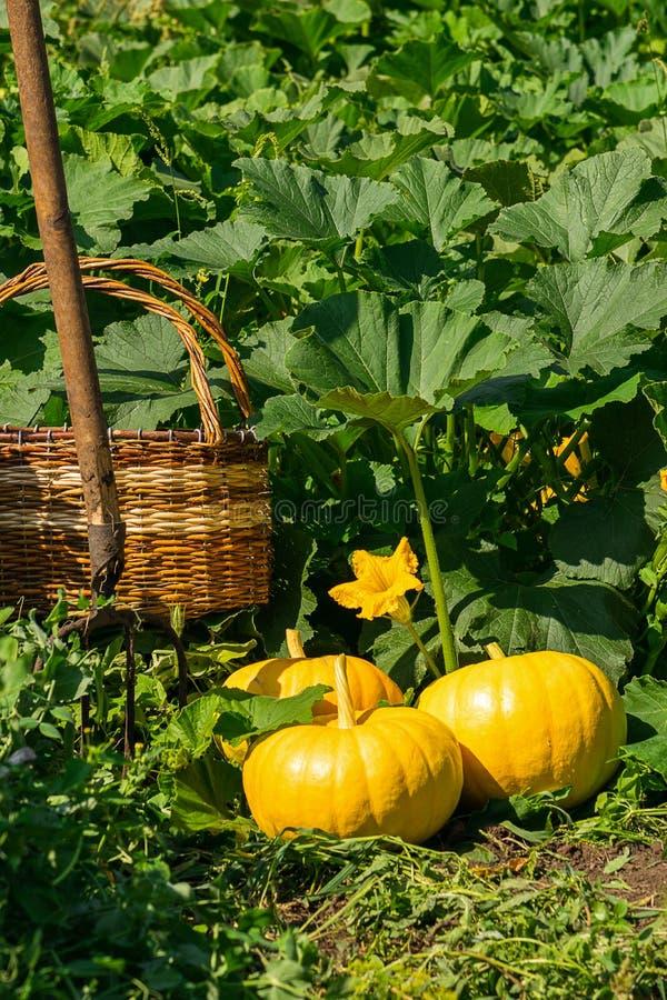 Φρέσκες ώριμες οργανικές κολοκύθες στην πράσινη χλόη υπαίθρια Έννοια συγκομιδών φθινοπώρου και καλοκαιριού Biofarm και κηπουρική στοκ φωτογραφίες με δικαίωμα ελεύθερης χρήσης