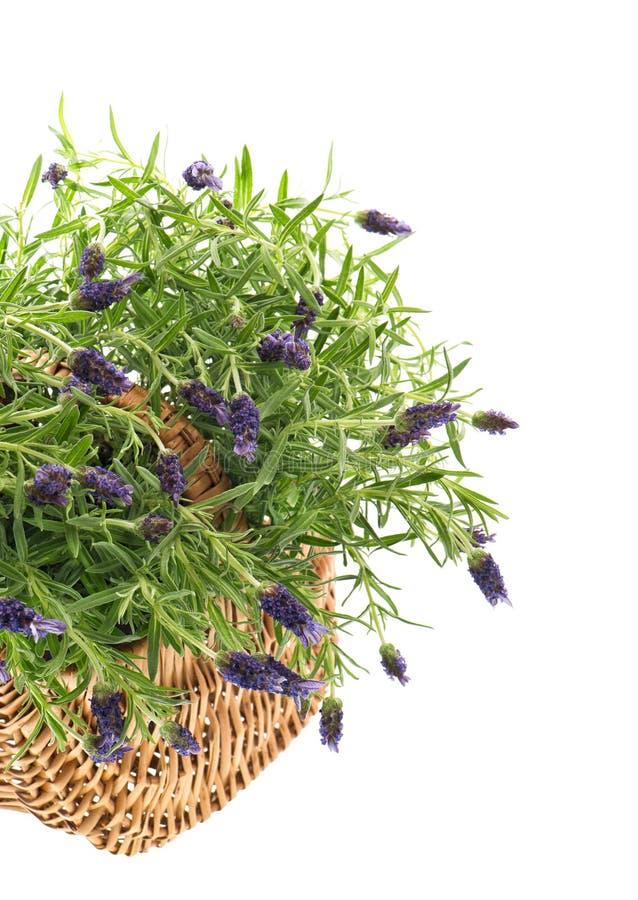 Φρέσκες lavender εγκαταστάσεις στο καλάθι πέρα από το λευκό καλοκαίρι κήπων λουλουδιών ανθών στοκ εικόνες με δικαίωμα ελεύθερης χρήσης