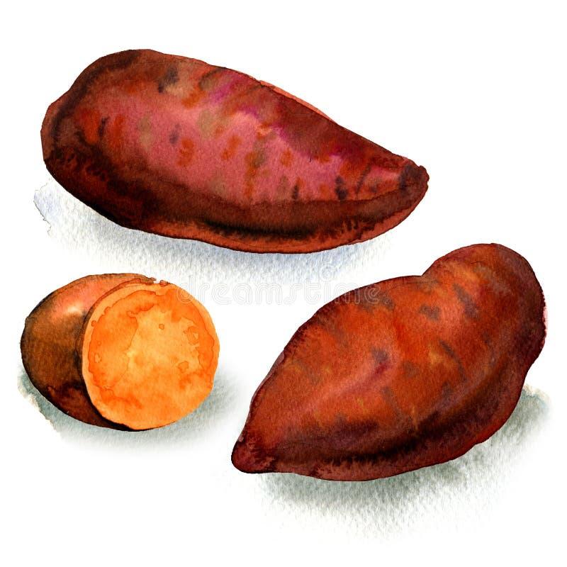 Φρέσκια ακατέργαστη οργανική γλυκιά πατάτα που απομονώνεται, απεικόνιση watercolor στο λευκό ελεύθερη απεικόνιση δικαιώματος