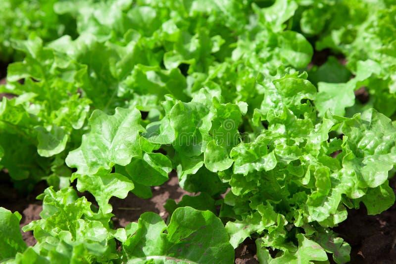 Φρέσκια νόστιμη σαλάτα στον τομέα στοκ φωτογραφία με δικαίωμα ελεύθερης χρήσης