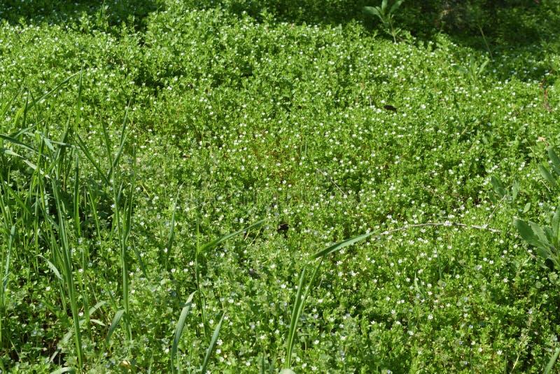 φρέσκια πράσινη άνοιξη χλόης στοκ εικόνες