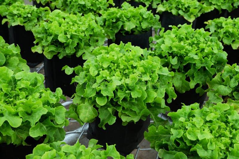 Φρέσκια πράσινη δρύινη καλλιέργεια μαρουλιού πράσινο φύλλο ανασκόπηση&sigmaf διάστημα αντιγράφων στοκ φωτογραφία με δικαίωμα ελεύθερης χρήσης