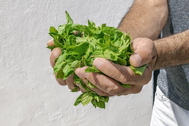 Φρέσκια πράσινη ευώδης μέντα στους φοίνικες ενός ατόμου μια θερινή ημέρα στοκ εικόνα με δικαίωμα ελεύθερης χρήσης