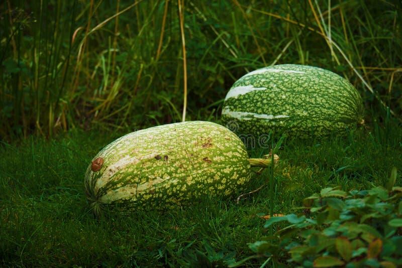Φρέσκια πράσινη κολοκύνθη στην πράσινη χλόη στον κήπο στοκ εικόνες