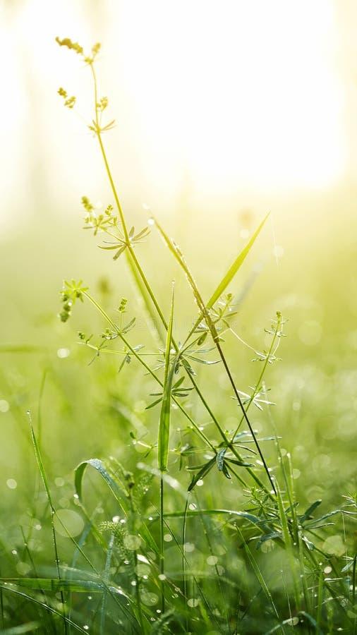 Φρέσκια πράσινη χλόη με τη δροσιά στοκ εικόνες