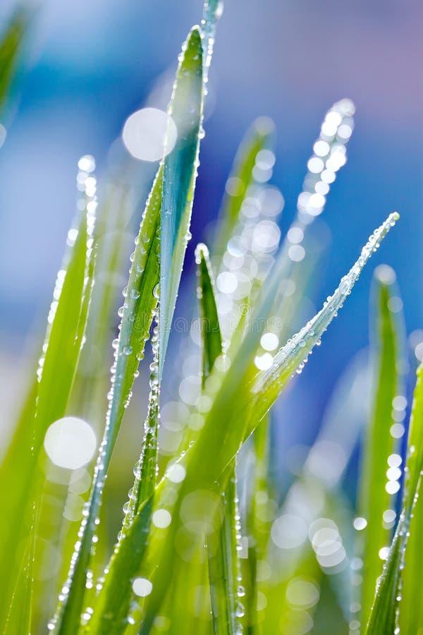 Φρέσκια πράσινη χλόη με τη δροσιά στοκ εικόνα