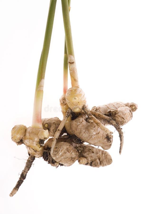 φρέσκια ρίζα φυτών πιπερορ&iot στοκ φωτογραφία με δικαίωμα ελεύθερης χρήσης