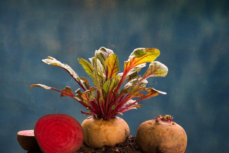 Φρέσκια υγιής φυτική υψηλή διατροφή παντζαριών στοκ εικόνα