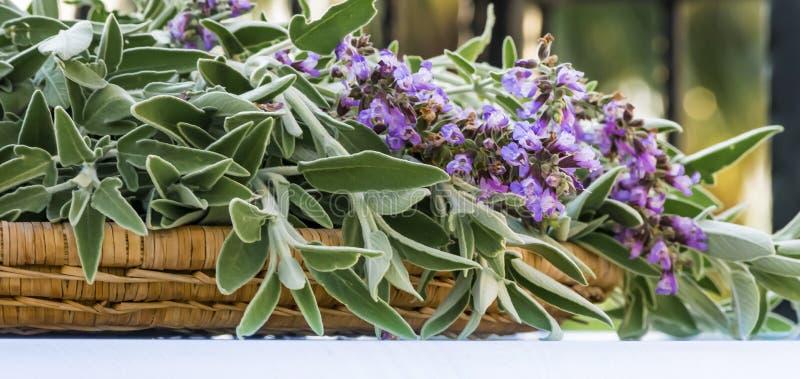 Φρέσκια φασκομηλιά ή salvia πράσινων εγκαταστάσεων περικοπών έξω στον πίνακα κουζινών στο θερινό κήπο Floral οριζόντιο υπόβαθρο στοκ εικόνες