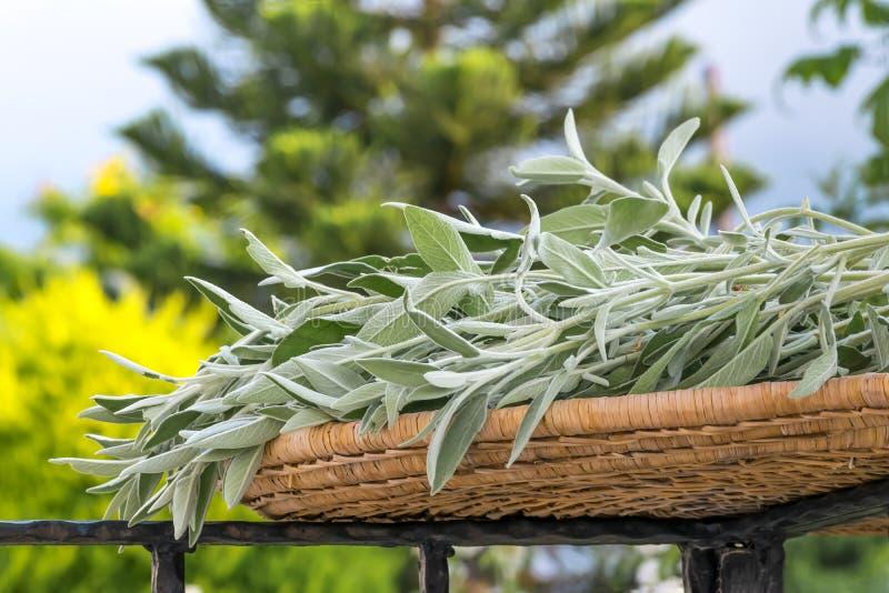 Φρέσκια φασκομηλιά ή salvia πράσινων εγκαταστάσεων περικοπών έξω στο θερινό κήπο E στοκ εικόνες