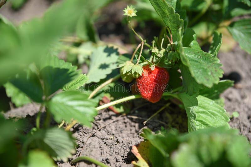 Φρέσκια φράουλα στον τομέα, fruit-growing στοκ εικόνα με δικαίωμα ελεύθερης χρήσης