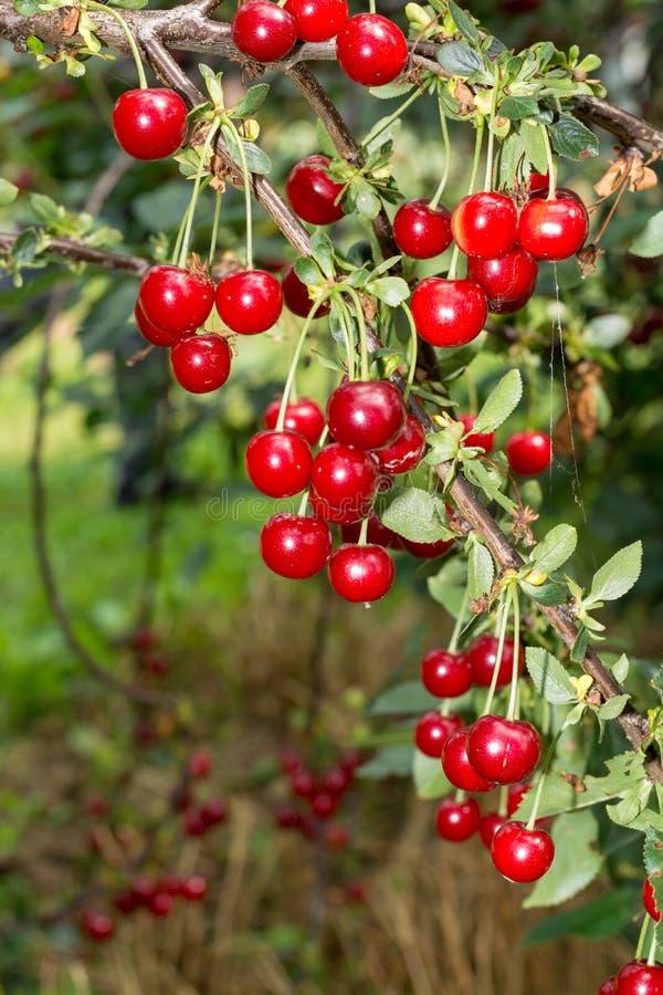 Φρέσκια ώριμη ένωση βύσσινων στο δέντρο κερασιών, συστατικό για το CH στοκ φωτογραφίες