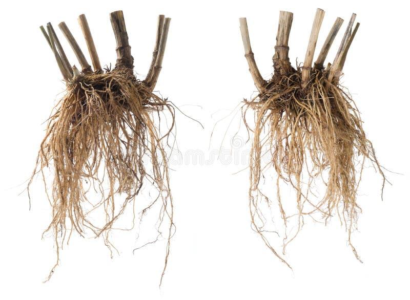 Φρέσκια Valerian ρίζα που απομονώνεται στοκ φωτογραφία