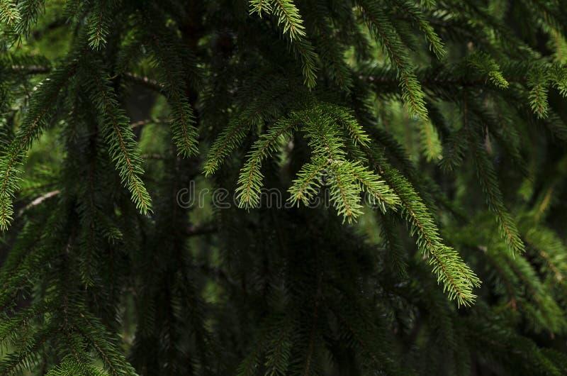 Φρέσκοι πράσινοι κομψοί κλάδοι στοκ εικόνες
