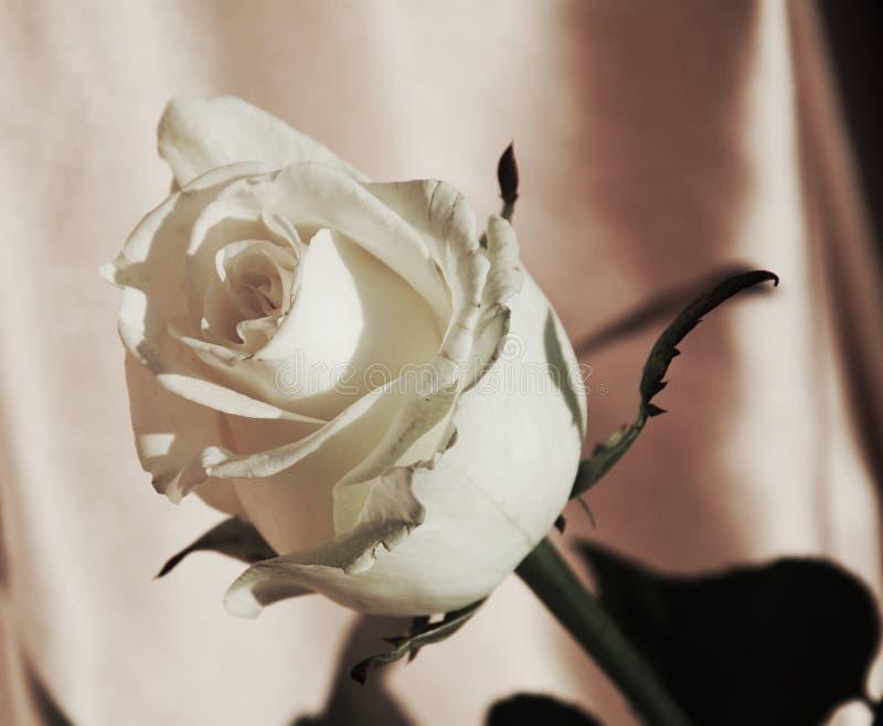 Φρέσκος άσπρος αυξήθηκε, σύμβολο της ειλικρίνειας στοκ φωτογραφία με δικαίωμα ελεύθερης χρήσης