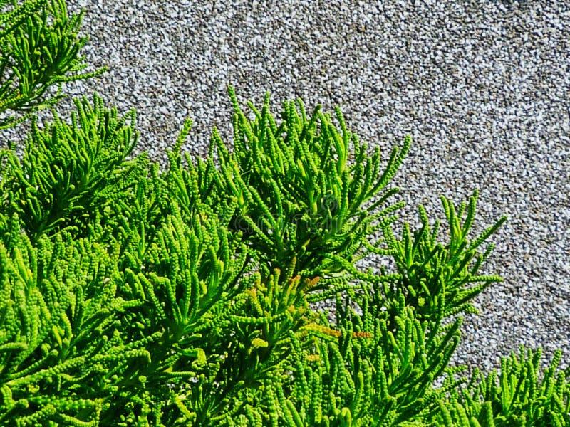 Φρέσκος βεραμάν θάμνος χρώματος με το χαλικώδες κατασκευασμένο γκρίζο εξωτερικό στόκων στοκ φωτογραφίες με δικαίωμα ελεύθερης χρήσης