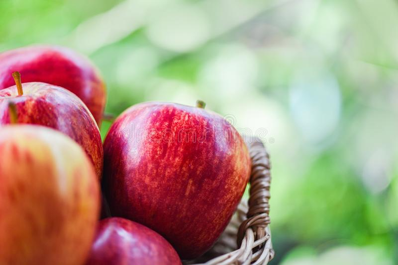 Φρέσκος κόκκινος οπωρώνας μήλων - το μήλο συγκομιδών στο καλάθι συλλέγει το πράσινο υπόβαθρο φύσης κήπων φρούτων στοκ εικόνες