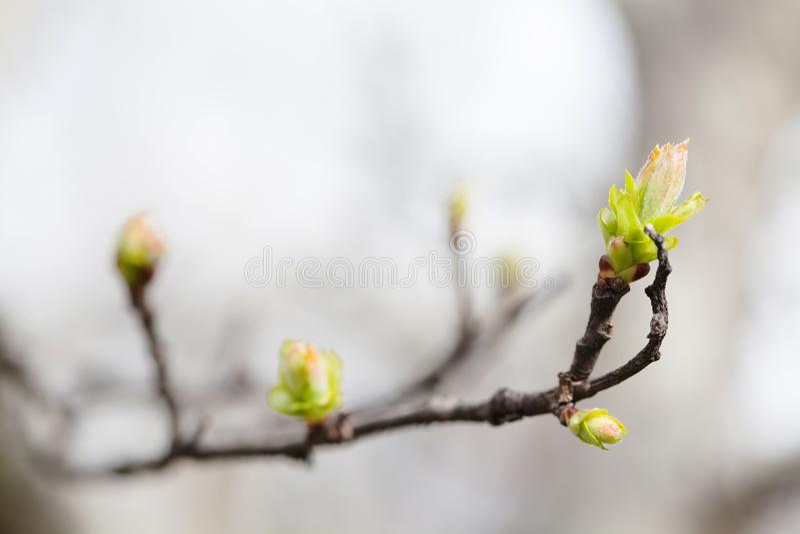 Φρέσκος νέος κλάδος δέντρων φύλλων πρασινάδων Χρόνος άνοιξη και νέα έννοια ζωής Μαλακή εστίαση, μακρο τομέας βάθους άποψης ρηχός στοκ φωτογραφία