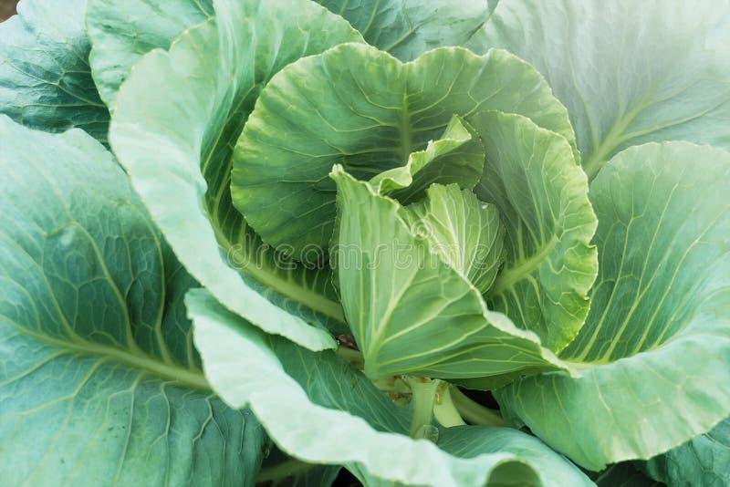 Φρέσκος πράσινος επικεφαλής του λάχανου στον τομέα στοκ φωτογραφίες