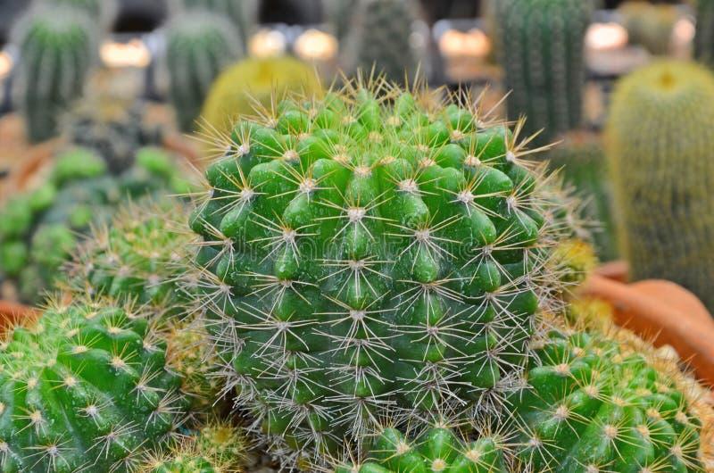 Φρέσκος πράσινος κάκτος στον κήπο στοκ φωτογραφία με δικαίωμα ελεύθερης χρήσης