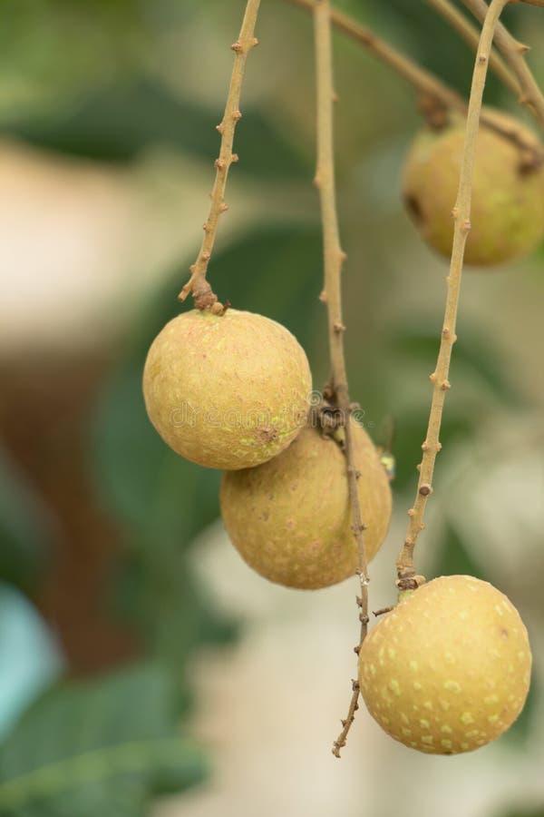 Φρέσκος longan στο δέντρο στοκ εικόνες