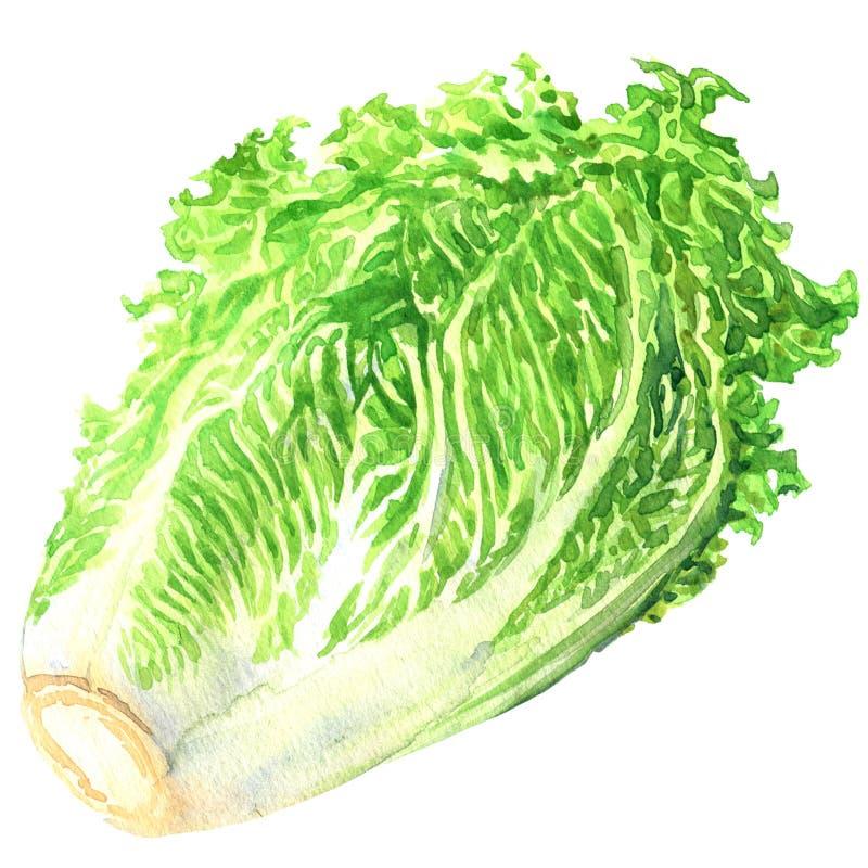 Φρέσκο κινεζικό λάχανο που απομονώνεται, συρμένη χέρι απεικόνιση watercolor στο λευκό διανυσματική απεικόνιση