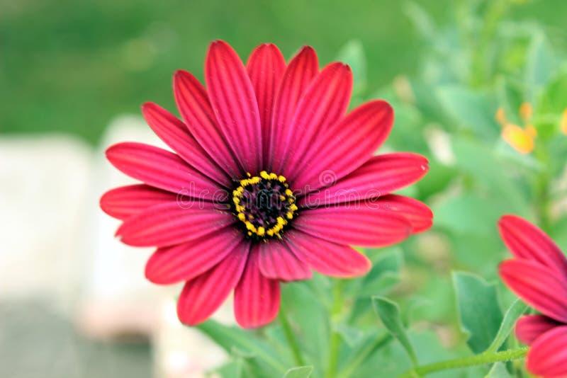 Φρέσκο κόκκινο άνθος άνθος λουλούδι ρεβέκκια στοκ φωτογραφίες με δικαίωμα ελεύθερης χρήσης