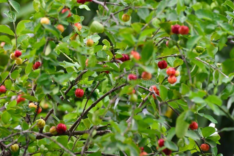 Φρέσκο οργανικό κεράσι Acerola στο δέντρο στοκ φωτογραφίες