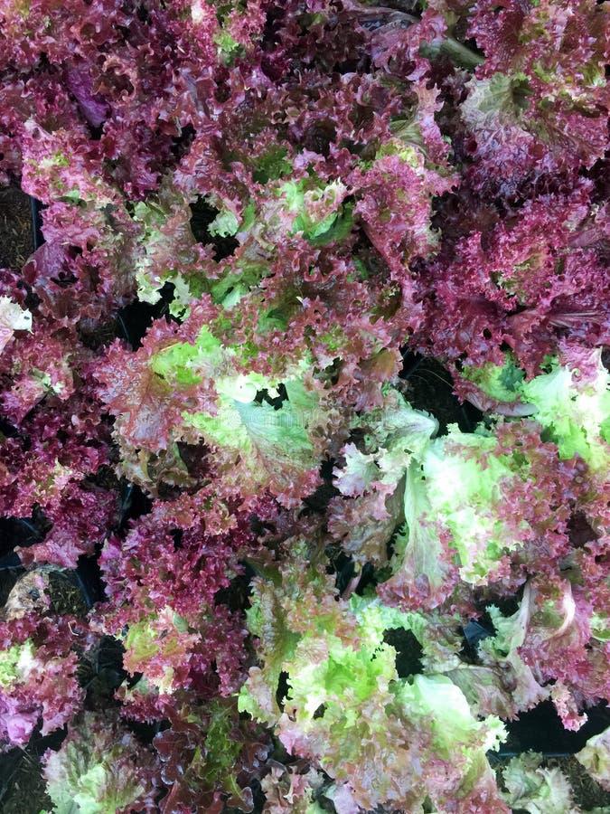 Φρέσκο οργανικό κόκκινο δρύινο αγρόκτημα λαχανικών σαλάτας μαρουλιού φύλλων ακατέργαστο lolla Rosa μαρουλιού υγιές υπόβαθρο τροφί στοκ φωτογραφία με δικαίωμα ελεύθερης χρήσης