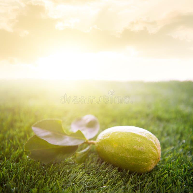 Φρέσκο οργανικό λεμόνι με το φως του ήλιου στοκ εικόνες