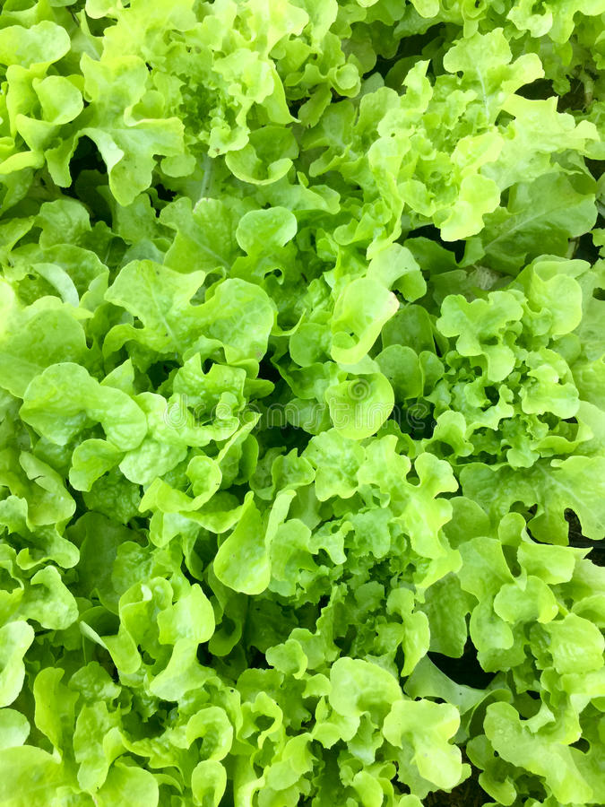 Φρέσκο οργανικό πράσινο δρύινο αγρόκτημα λαχανικών σαλάτας μαρουλιού φύλλων ακατέργαστο υγιές υπόβαθρο τροφίμων veggies φυσικό Το στοκ εικόνες