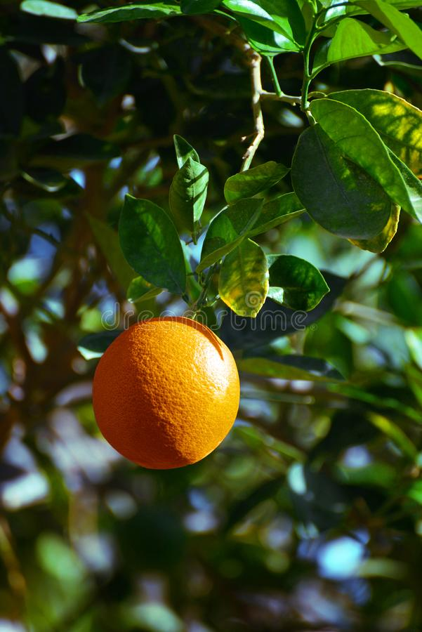 Φρέσκο πορτοκαλί οπωρωφόρο δέντρο στοκ φωτογραφία με δικαίωμα ελεύθερης χρήσης