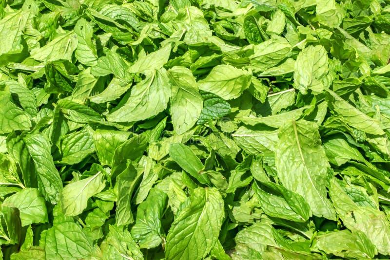 Φρέσκο πράσινο ευώδες θερινό υπόβαθρο μεντών Πρόσφατα επιλεγμένα φύλλα μεντών στοκ φωτογραφίες με δικαίωμα ελεύθερης χρήσης