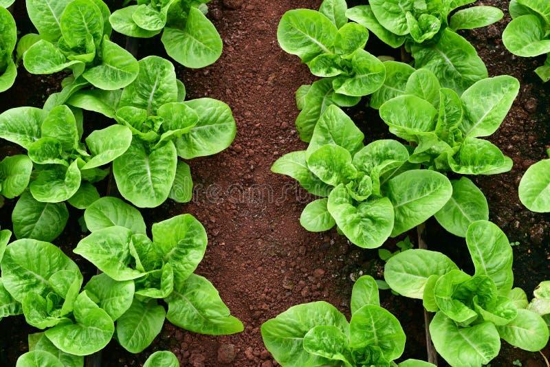 Φρέσκο πράσινο μαρούλι romaine ή μαρουλιών στο φυτικό κήπο στοκ εικόνες με δικαίωμα ελεύθερης χρήσης
