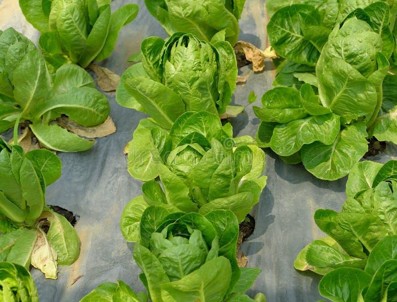 Φρέσκο πράσινο μαρούλι μαρουλιών σε έναν τομέα στοκ εικόνα