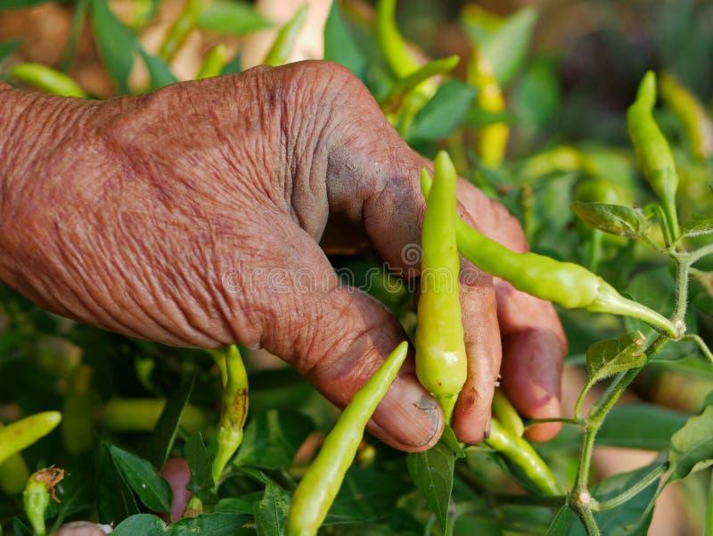 Φρέσκο πράσινο τσίλι μαζέματος με το χέρι του παλαιού βρώμικου εργατικού αγρότη, μια όμορφη έκβαση από τη σκληρή δουλειά του στοκ φωτογραφία