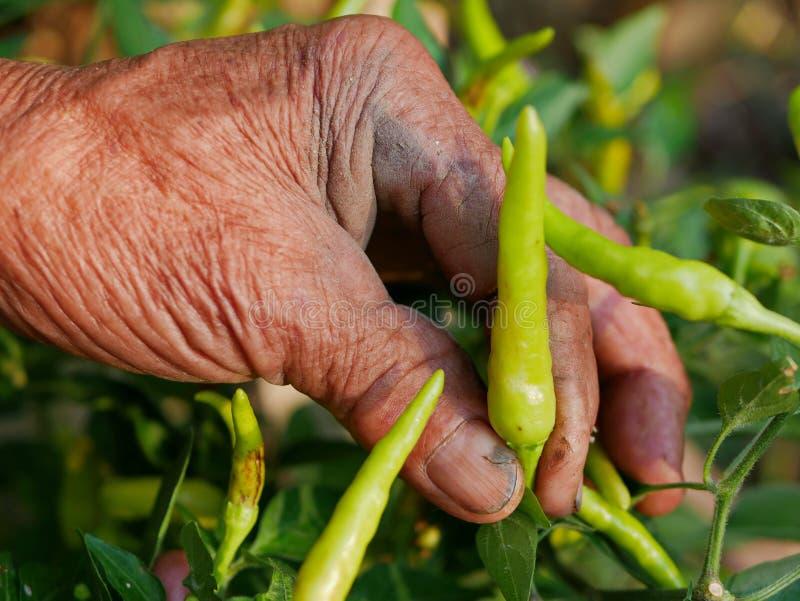 Φρέσκο πράσινο τσίλι μαζέματος με το χέρι του παλαιού βρώμικου εργατικού αγρότη, μια όμορφη έκβαση από τη σκληρή δουλειά του στοκ εικόνες