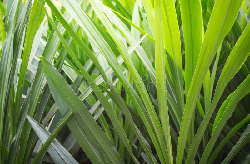 φρέσκο πράσινο υπόβαθρο φύλλων Pandan στοκ εικόνες