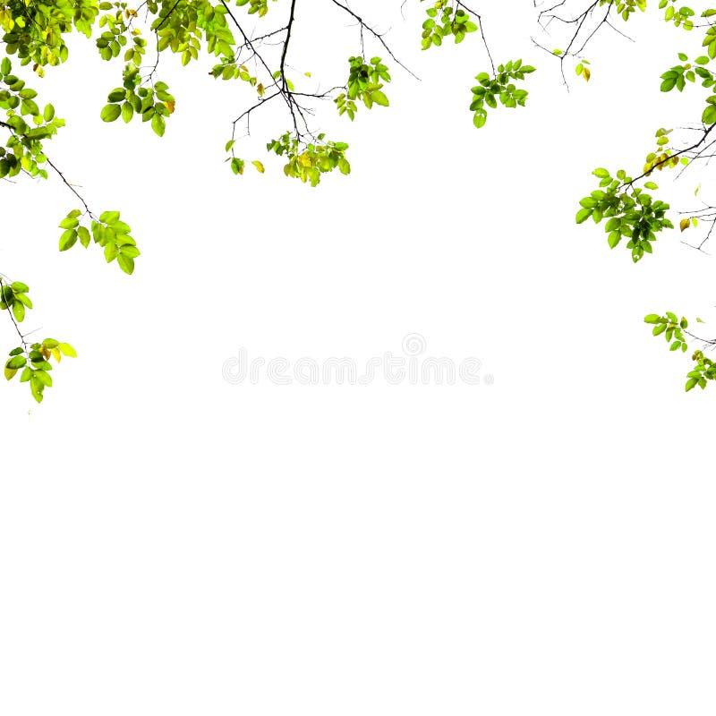 Φρέσκο πράσινο υπόβαθρο φύλλων στοκ εικόνες με δικαίωμα ελεύθερης χρήσης