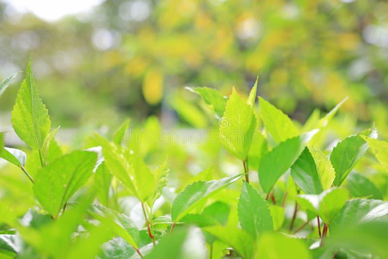 Φρέσκο πράσινο φύλλο δέντρων στο θολωμένο υπόβαθρο στο θερινό κήπο Φύλλα φύσης κινηματογραφήσεων σε πρώτο πλάνο στον τομέα στοκ φωτογραφίες