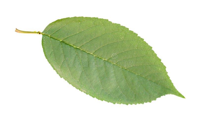 Φρέσκο πράσινο φύλλο του δέντρου γλυκών κερασιών που αποκόπτει στοκ φωτογραφίες με δικαίωμα ελεύθερης χρήσης
