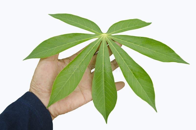 Φρέσκο πράσινο φύλλο του δέντρου μανιόκων υπό εξέταση στοκ εικόνες με δικαίωμα ελεύθερης χρήσης