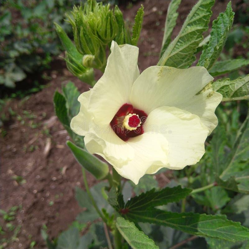 Φρέσκο πράσινο Ladyfinger με το κίτρινο χώμα λουλουδιών blackblack στοκ εικόνες