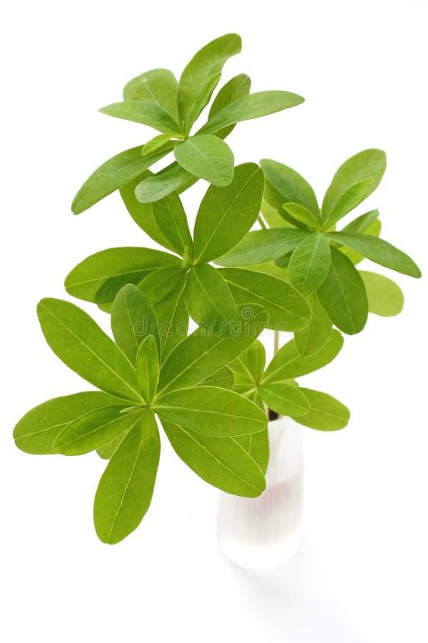 φρέσκο πράσινο vase φύλλων στοκ φωτογραφία