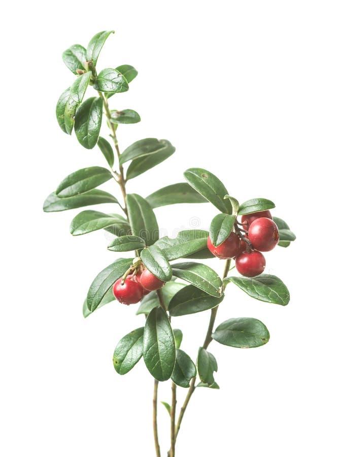 Φρέσκο ώριμο cowberry με τα φύλλα στοκ φωτογραφία