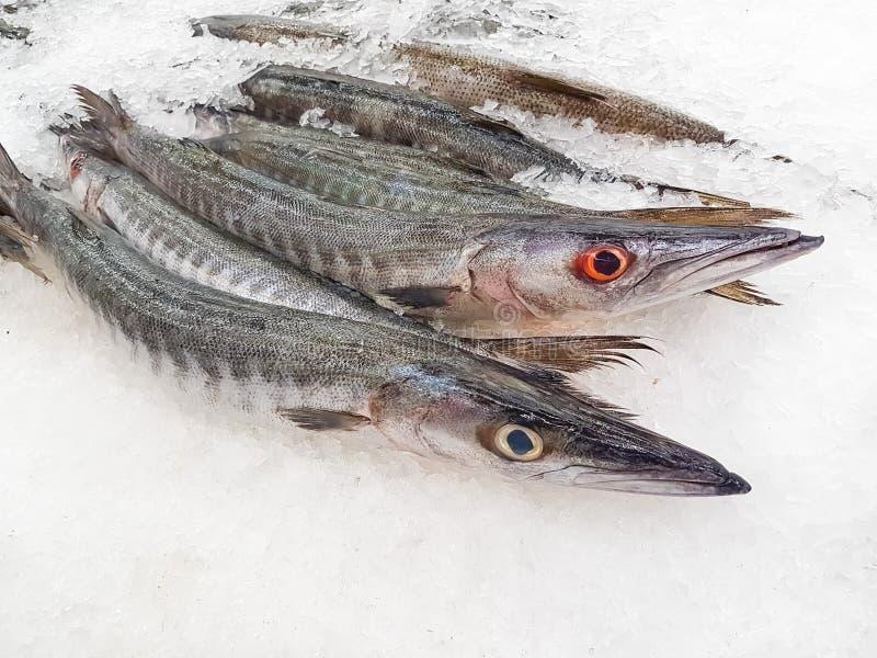 Φρέσκο Barracuda στον πάγο στοκ εικόνες
