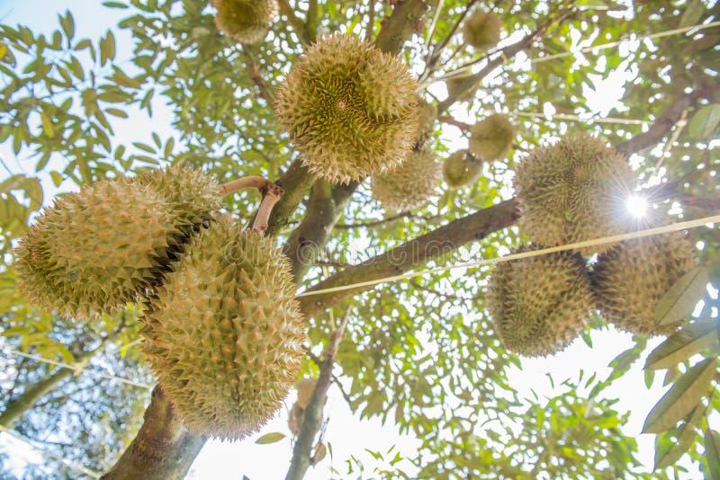 Φρέσκο durian δέντρο στο αγρόκτημα, ταϊλανδικά φρούτα βασιλιάδων στοκ εικόνες