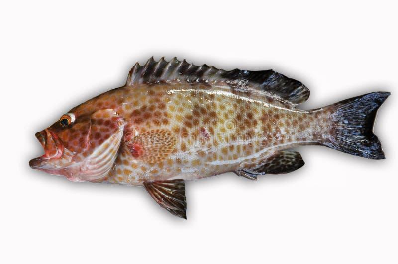 Φρέσκο Grouper στο άσπρο υπόβαθρο, λωρίδα των ψαριών, υγιή τρόφιμα, φρέσκα ψάρια από τη θάλασσα στοκ εικόνες